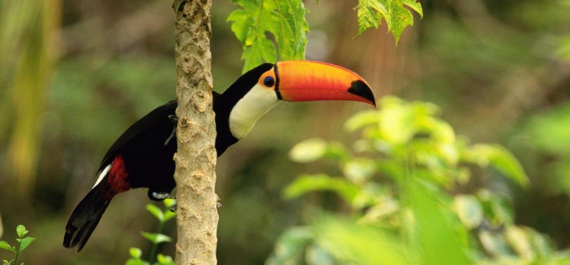 Tropic Toucan